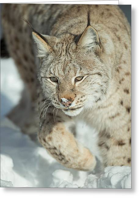 A Eurasian Lynx In Snow Greeting Card by Andy Astbury