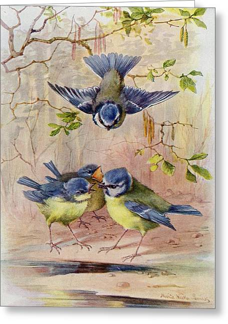 Feed Drawings Greeting Cards - A Family Of Blue Tits. After A Greeting Card by Ken Welsh