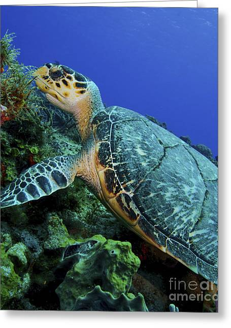 Undersea Photography Greeting Cards - A Feeding Hawksbill Sea Turtle Greeting Card by Brent Barnes