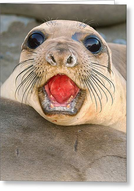 Best Sellers -  - Elephant Seals Greeting Cards - A female Elephant seal Mirounga angustirostris Greeting Card by Eyal Nahmias