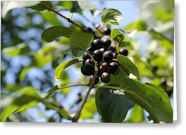 Berry Greeting Cards - A Few Berries  Greeting Card by James Lafnear