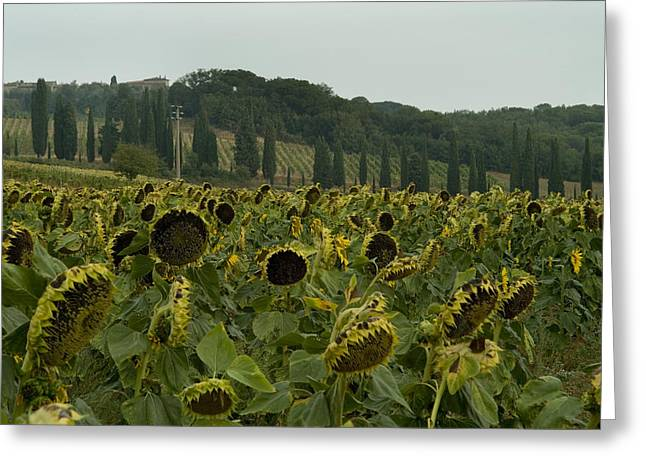 Chianti Hills Greeting Cards - A Field Of Sunflowers Grows Greeting Card by Todd Gipstein