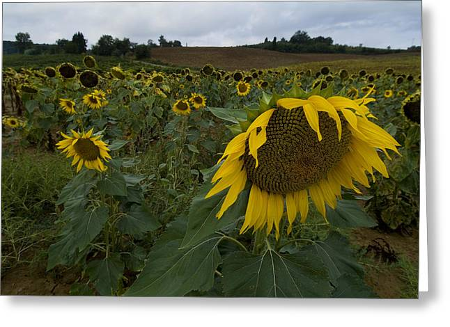Chianti Greeting Cards - A Field Of Sunflowers In Tuscany Greeting Card by Todd Gipstein