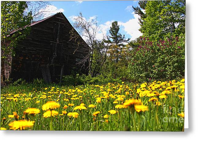 Old Maine Barns Greeting Cards - A Field of Yellow Greeting Card by Laura Mace Rand