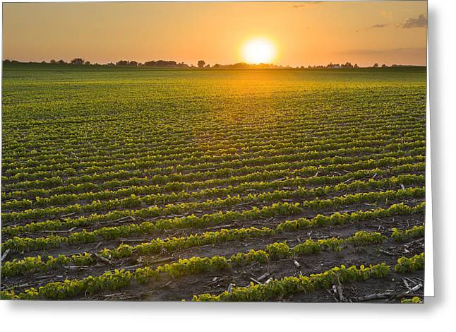 Backlit Greeting Cards - A Field Of Young Soybean Plants Greeting Card by Scott Sinklier