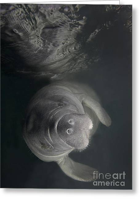 A Florida Manatee In The Warm Waters Greeting Card by Terry Moore