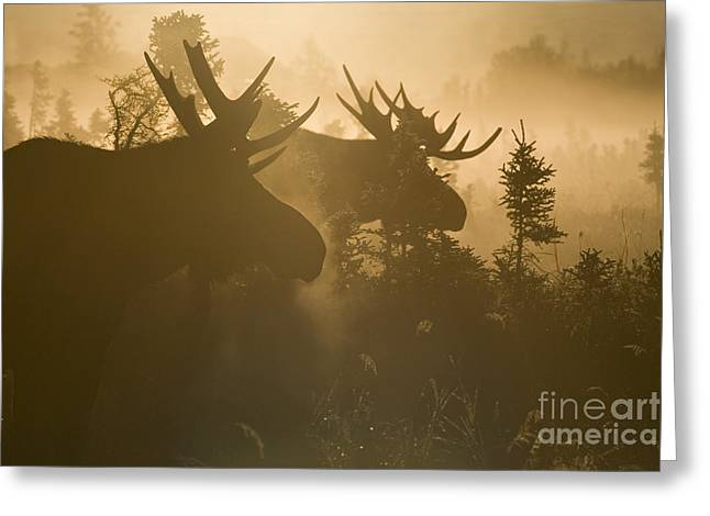 Moose Bull Greeting Cards - A Foggy Morning Greeting Card by Tim Grams