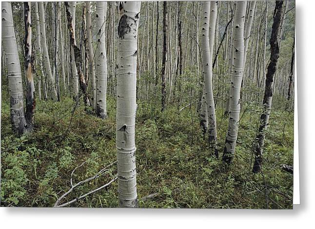 Woodland Views Greeting Cards - A Forest Of White Birch Trees Greeting Card by Todd Gipstein