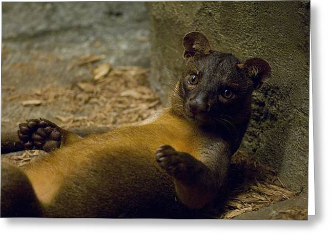 Desert Dome Greeting Cards - A Fossa From The Henry Doorly Zoos Greeting Card by Joel Sartore