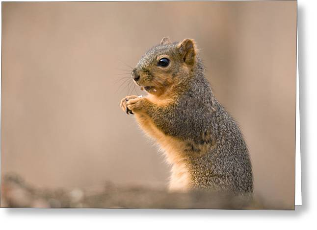 A Fox Squirrel Sciurus Niger Finds Greeting Card by Joel Sartore