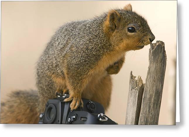 A Fox Squirrel Sciurus Niger Sits Greeting Card by Joel Sartore