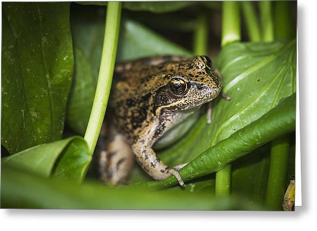 Wapato Photographs Greeting Cards - A Frog Perches On Wapato Leaves Greeting Card by Robert L. Potts