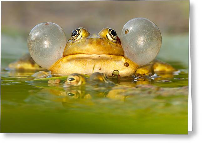 Cheeks Greeting Cards - A Frogs Life Greeting Card by Roeselien Raimond