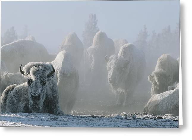 Snow Scenes Greeting Cards - A Frost-covered Herd Of American Bison Greeting Card by Tom Murphy