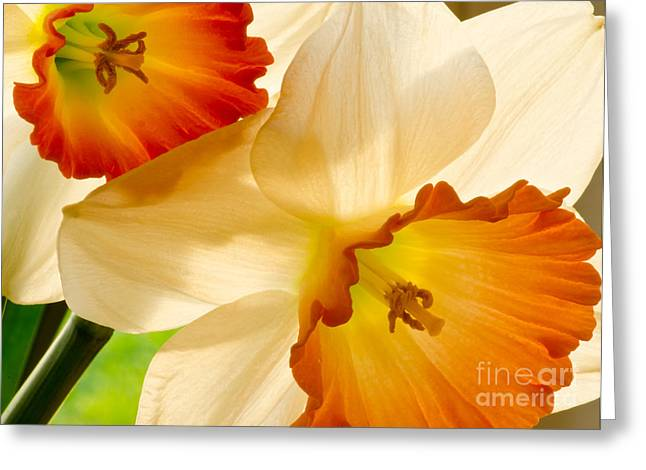 Boren Greeting Cards - A Full Frame Of Daffys Greeting Card by Nick  Boren