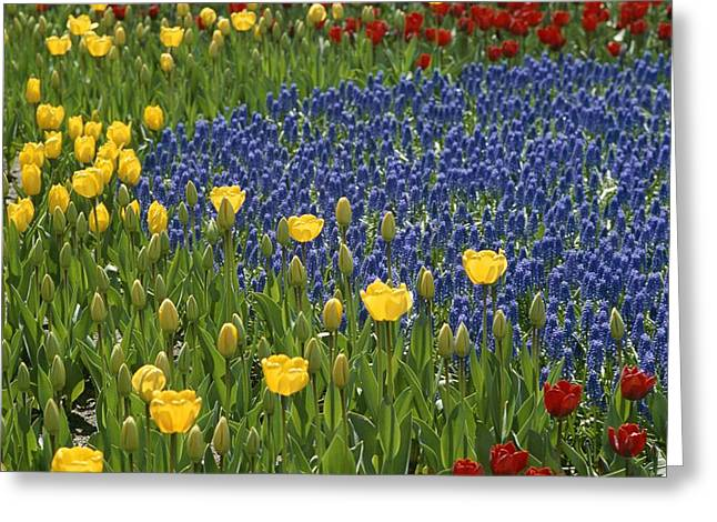 Middle Atlantic States Greeting Cards - A Garden Of Colorful Tulips And Grape Greeting Card by Raul Touzon