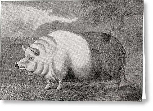 Height Drawings Greeting Cards - A Giant Hog Belonging To Mr Charles Greeting Card by Vintage Design Pics