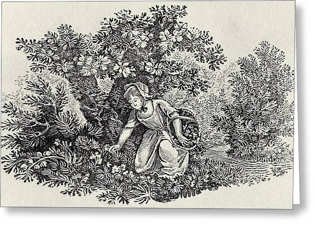 A Girl Gathering Flowers Greeting Card by Thomas Bewick