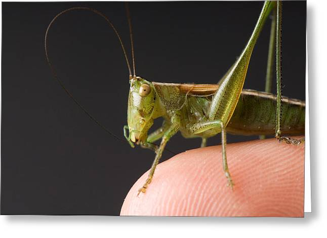 Model Released Photography Greeting Cards - A Gladiator Meadow Katydid Found Greeting Card by Joel Sartore
