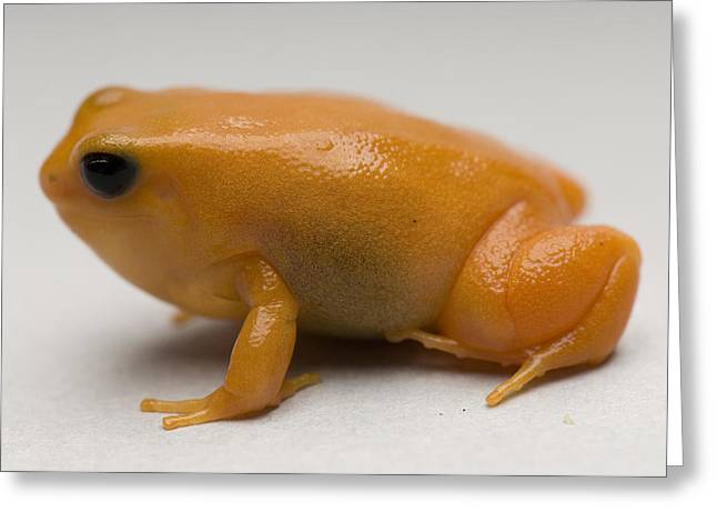 Property Released Photography Greeting Cards - A Golden Mantella Mantella Aurantiaca Greeting Card by Joel Sartore