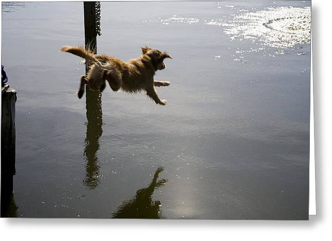 Dog Swimming Greeting Cards - A Golden Retreiver Leaps To Retreive Greeting Card by Stephen St. John