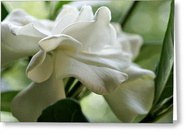 Gardenias Greeting Cards - A Graceful Lady Greeting Card by Kathy Bucari