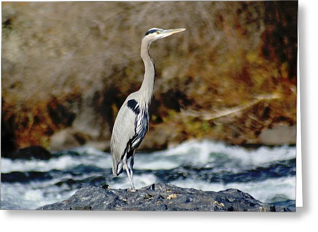 Spokane Greeting Cards - A Great Blue Heron at the Spokane River 2 Greeting Card by Ben Upham