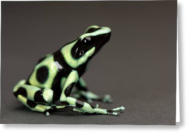 A Green And Black Poison Dart Frog Greeting Card by Joel Sartore