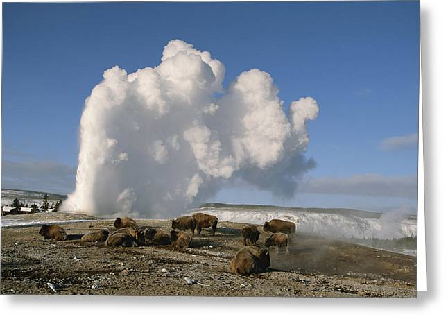 Old Faithful Geyser Greeting Cards - A Group Of American Bison Rest Greeting Card by Tom Murphy