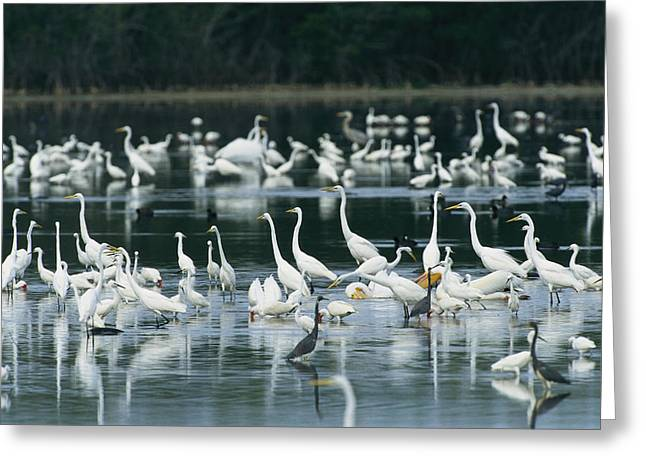 Egretta Tricolor Greeting Cards - A Group Of Egrets, Herons,  Ibises Greeting Card by Klaus Nigge