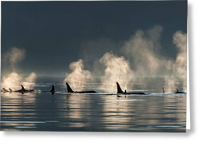 A Group Of Orca  Killer  Whales Come Greeting Card by John Hyde