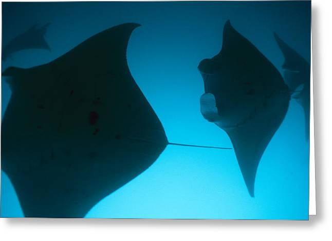Ray Fish Greeting Cards - A Group Of Silhouetted Manta Rays Greeting Card by Heather Perry