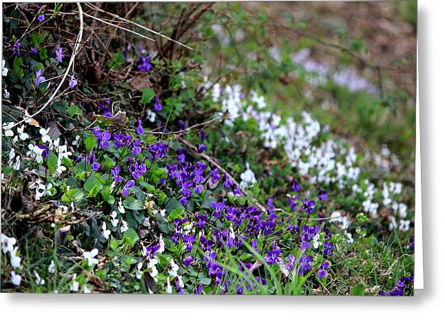 Meadow Greeting Cards - A group of violets in the field Greeting Card by Samantha Mattiello