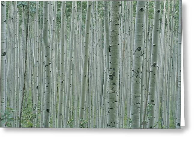 Forests And Forestry Greeting Cards - A Grove Of Aspen Trees Outside Aspen Greeting Card by Taylor S. Kennedy