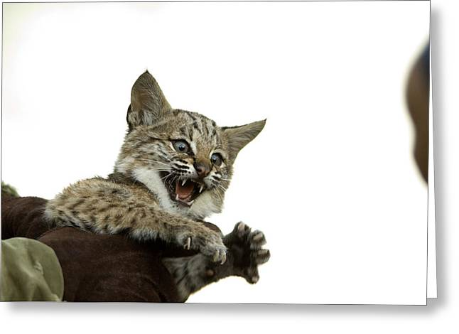 Bobcat Greeting Cards - A Hand-raised Bobcat Reacts As Its Held Greeting Card by Joel Sartore