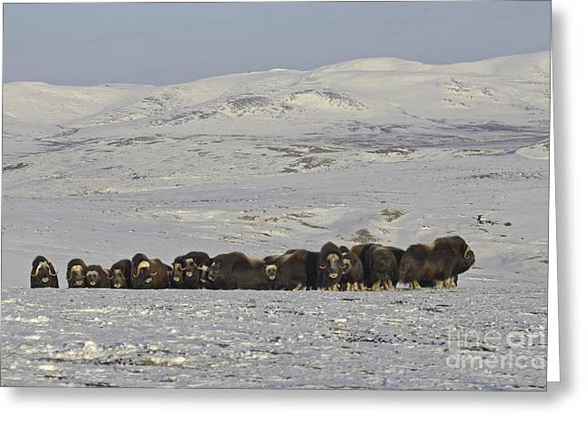 Musk Greeting Cards - A Herd of Musk Ox  Greeting Card by Tim Grams