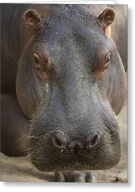 A Hippopotamus At The Sedgwick County Greeting Card by Joel Sartore