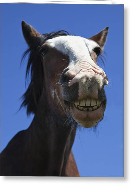Differential Focus Greeting Cards - A Horse Smiling And Showing Its Teeth Greeting Card by John Short