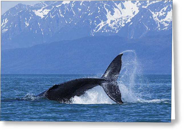 Sea Lions In The Ocean Greeting Cards - A Humpback Whale Calf Frolicks In Lynn Greeting Card by John Hyde
