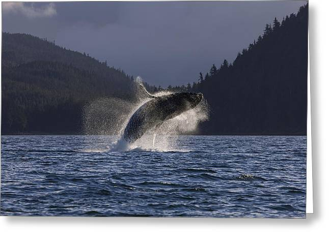 A Humpback Whale Leaps From The Waters Greeting Card by John Hyde