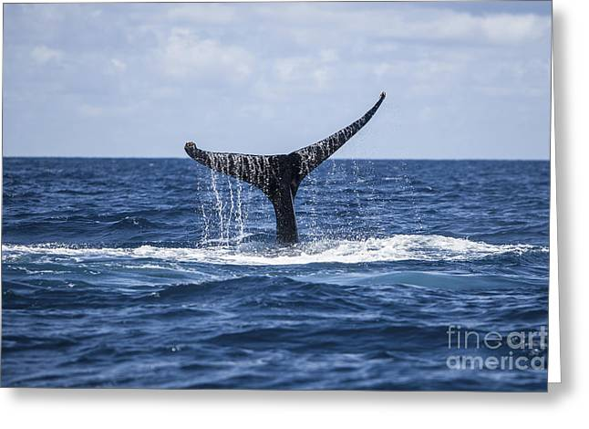 Emergence Photographs Greeting Cards - A Humpback Whale Raises Its Tail Greeting Card by Ethan Daniels