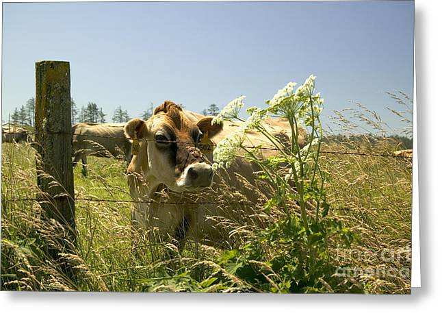 A Jersey Cow Sniffs A Cow Parsnip Greeting Card by Inga Spence
