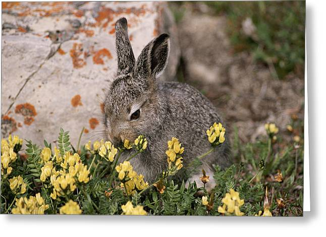 Hare Greeting Cards - A Juvenile Arctic Hare Nibbles Greeting Card by Paul Nicklen