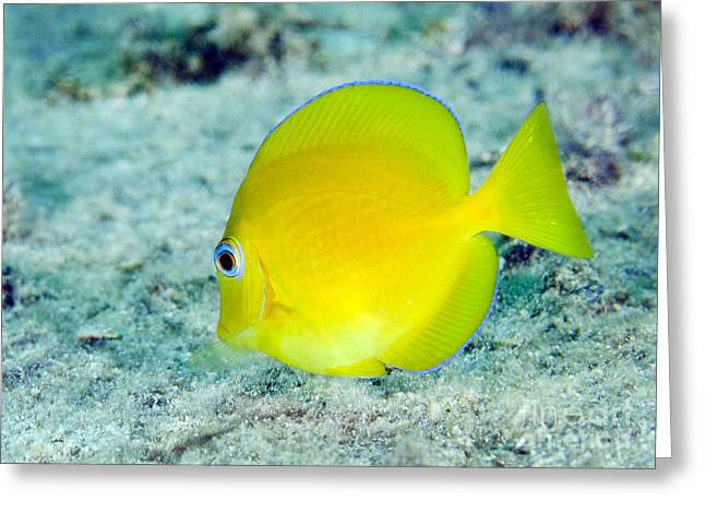 Tang Greeting Cards - A Juvenile Blue Tang Searching Greeting Card by Terry Moore