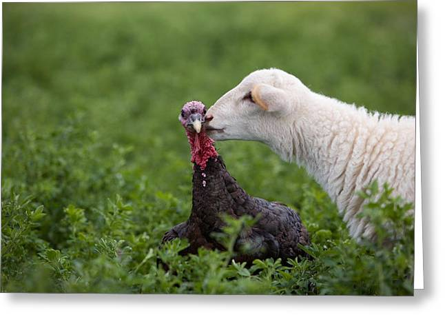 Release Greeting Cards - A Katahdin Lamb Gives A Bronze Turkey Greeting Card by Joel Sartore