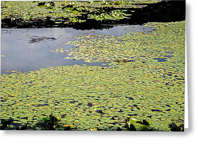 Alga Greeting Cards - A Large Cluster of Lily Pads Greeting Card by Joshua Zaring