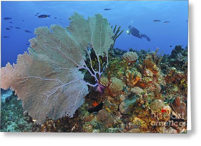 Sea Fan Greeting Cards - A Large Purple Sea Fan On Caribbean Greeting Card by Karen Doody