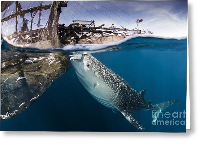 Platform. Level Greeting Cards - A Large Whale Shark Siphoning Water Greeting Card by Mathieu Meur