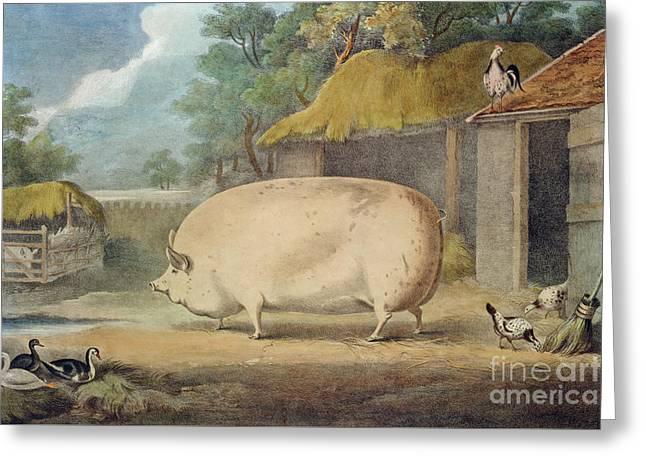 A Leicester Sow Greeting Card by William Henry Davis