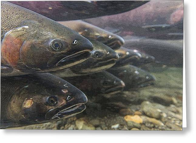 Coho Salmon Greeting Cards - A line of Cohos- Abstract Greeting Card by Tim Grams